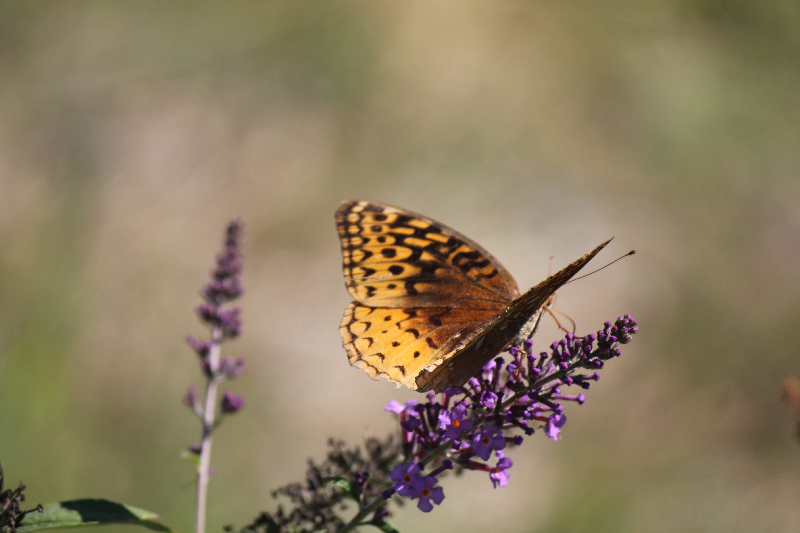 Tawny Butterfly