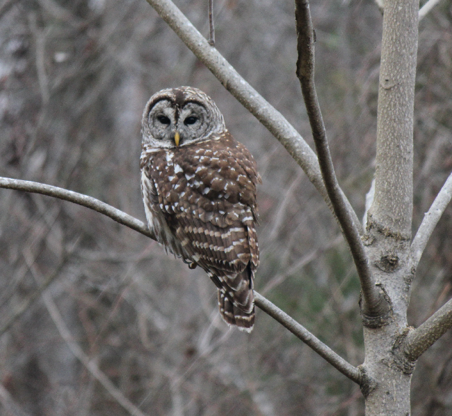 Barred Owl on THT