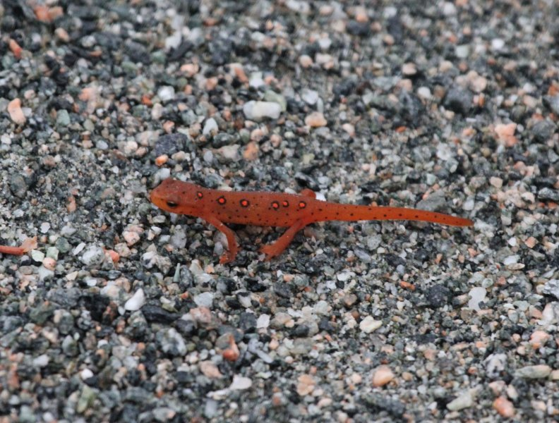 Spotted Newt