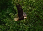 Bald Eagle Chases Blue Heron