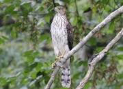 Cooper's Hawk - THT - Jeff Blalock