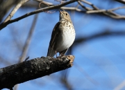 Hermit Thrush in South Boston